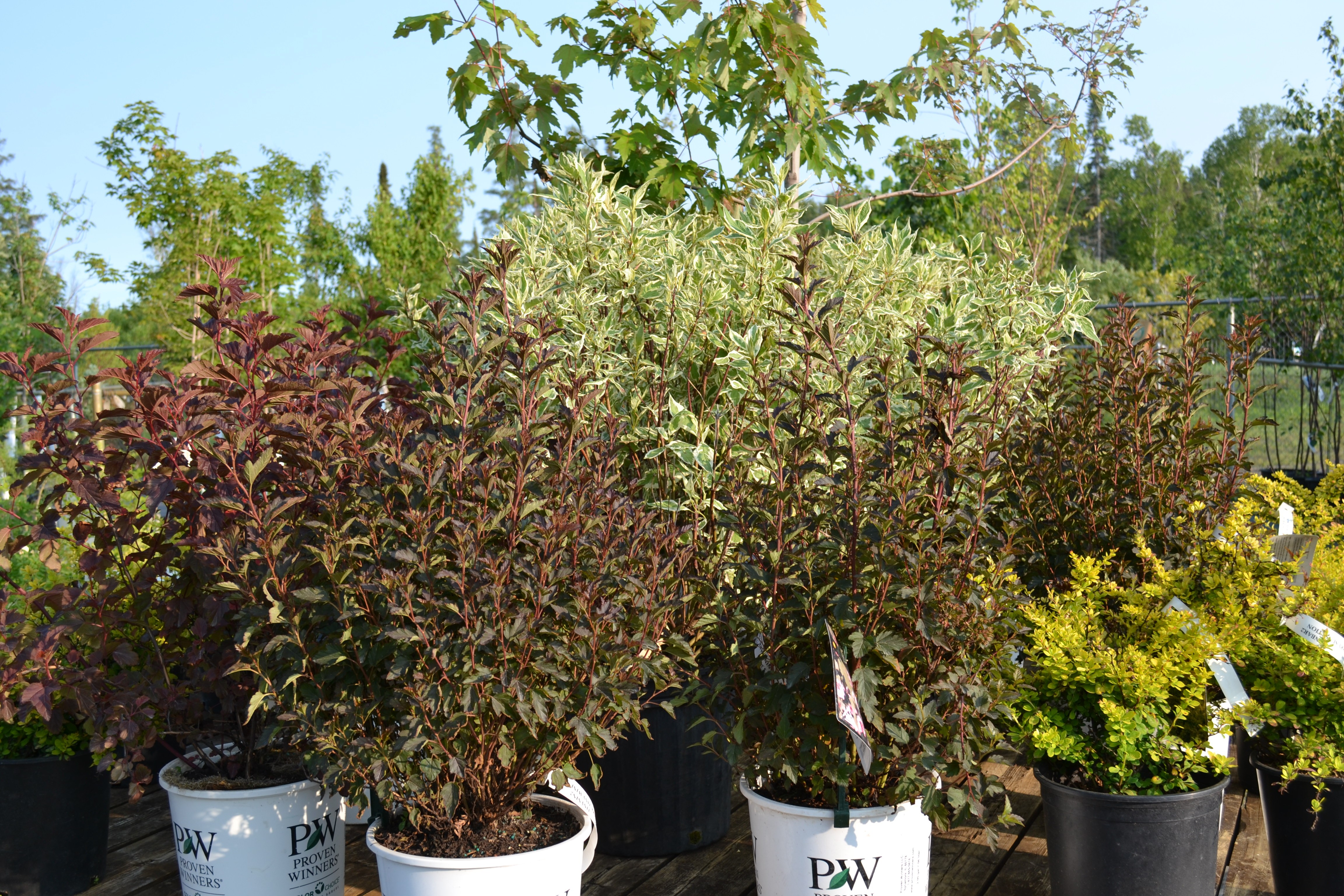 Nursery trees thunder bay on apple trees shrubs for Garden shrubs