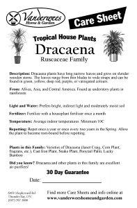 Dracaena copy