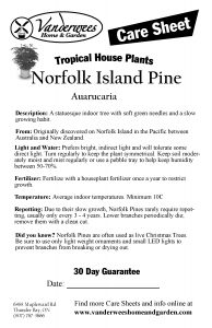 Norfolk Island Pine copy