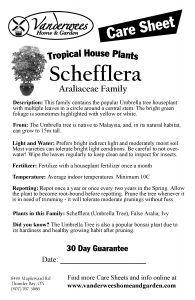 Schefflera copy