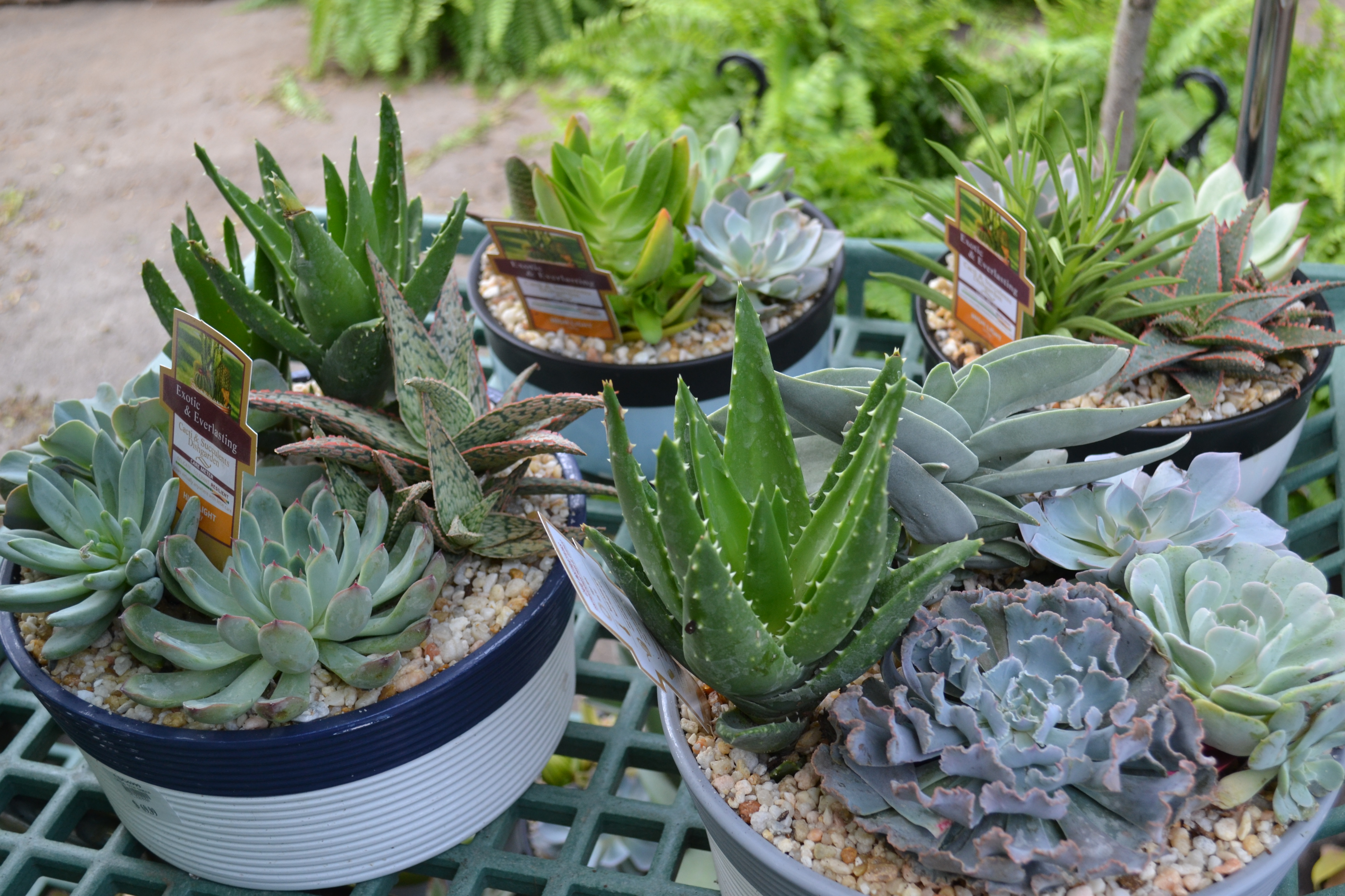 Cacti succulents vanderwees home garden Can succulents grow outside