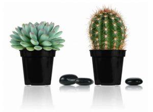 cacti succulent