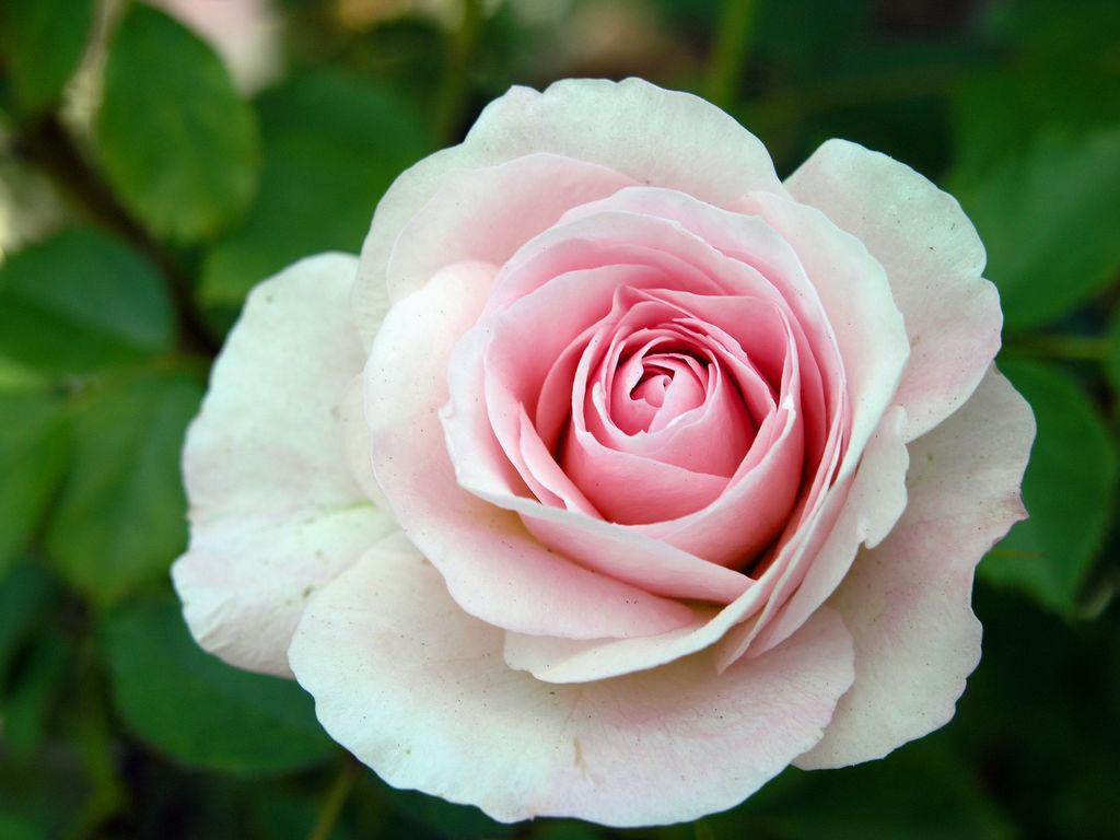 a rose for every garden vanderwees home garden. Black Bedroom Furniture Sets. Home Design Ideas