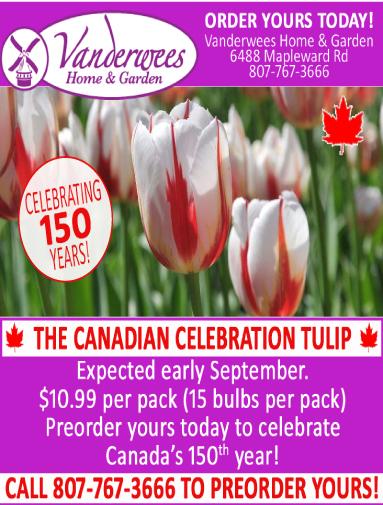Celebration Tulip