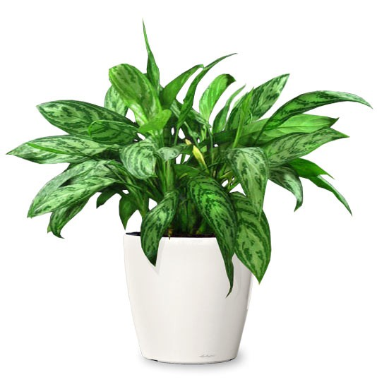 aglaonema-amelia-small-indoor-plant-realornamentaltrees-com-web