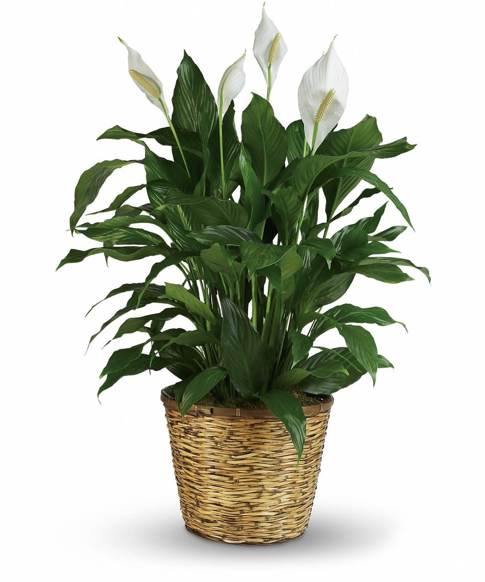 Indoor plants archives vanderwees home garden peace lily izmirmasajfo Gallery